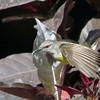 Purple-rumped Sunbird female