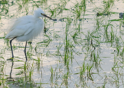 Indian Pond Heron, Little Egret