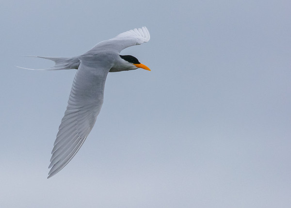 Indian river tern in flight