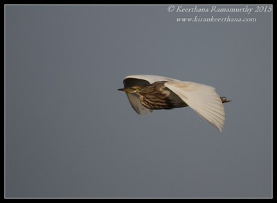Pond Heron, Hadinaru Kere, Mysore, Karnataka, India, February 2015