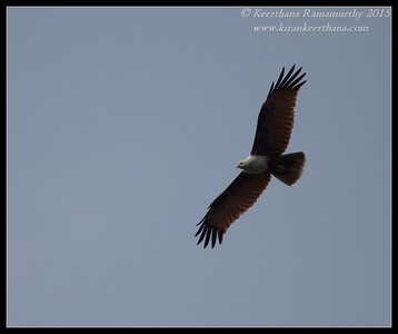 Brahminy Kite, Hadinaru Kere, Mysore, Karnataka, India, February 2015