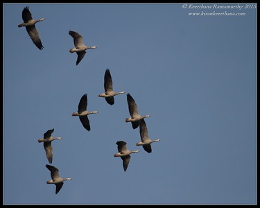 Bar-Headed Geese flying in formation, Hadinaru Kere, Mysore, Karnataka, India, February 2015
