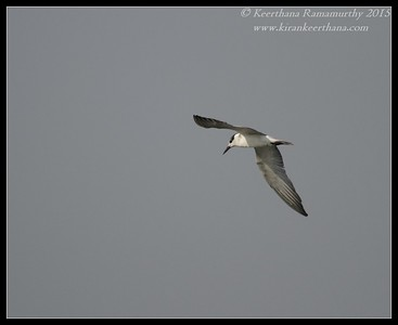 Whiskered Tern, Hadinaru Kere, Mysore, Karnataka, India, February 2015