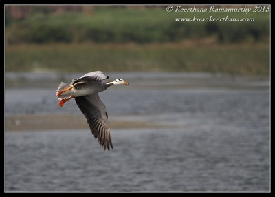 Bar-Headed Goose, Hadinaru Kere, Mysore, Karnataka, India, February 2015