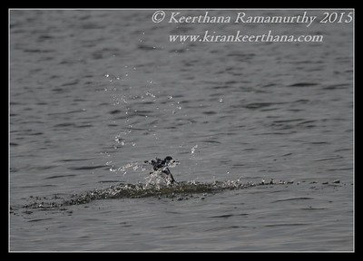 Pied Kingfisher, Hadinaru Kere, Mysore, Karnataka, India, February 2015