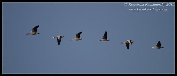 Bar-Headed Geese, Hadinaru Kere, Mysore, Karnataka, India, February 2015