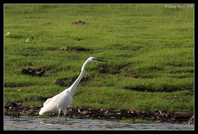 Great Egret, Kabini, Mysore, Karnataka, India, June 2009