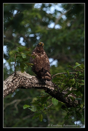 Crested Serpent Eagle 180 degree head turn, Kabini, Mysore, Karnataka, India, June 2009