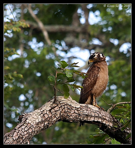 Crested Serpent Eagle, Kabini, Mysore, Karnataka, India, June 2009