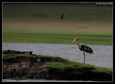 Painted Stork Scape, Kabini, Mysore, Karnataka, India, June 2009