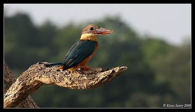 Stork-billed Kingfisher, Kabini, Mysore, Karnataka, India, June 2009