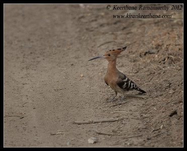 Hoopoe, Bandipur, Karnataka, India, June 2012
