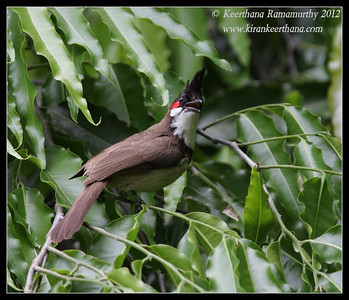 Red-whiskered bulbul, Our Garden, Amruthur, Karnataka, India, May 2012