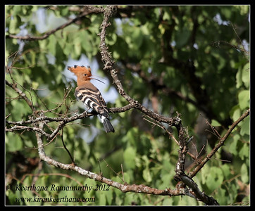 Hoopoe calling, Bandipur, Karnataka, India, June 2012