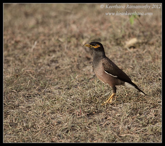 Common Myna, Bandipur, Karnataka, June 2012