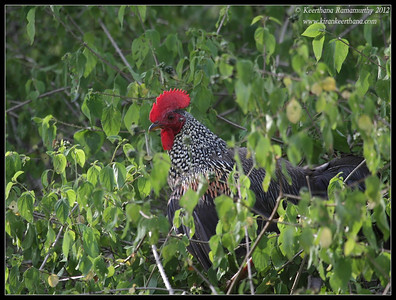Jungle Fowl, Bandipur, Karnataka, June 2012