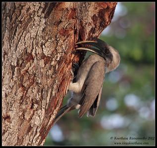 Grey Hornbill feeding a red berry to the chick in the nest inside the tree, Chamundi Hills, Mysore, Karnataka, India, May 2012