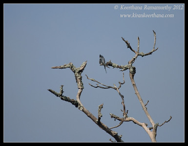Crested Treeswift, Bandipur, Karnataka, June 2012