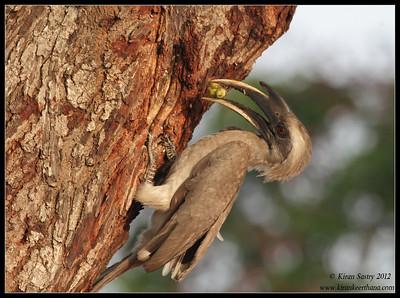 Grey Hornbill feeding a mollusc to the chick in the nest inside the tree, Chamundi Hills, Mysore, Karnataka, India, May 2012
