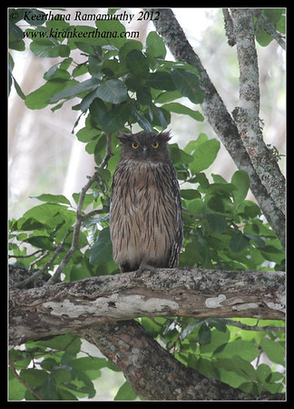 Brown Fish Owl, Bandipur, Karnataka, June 2012