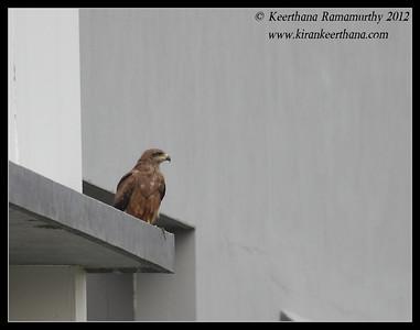 Pariah Kite near home, Bangalore, Karnataka, India, May 2012