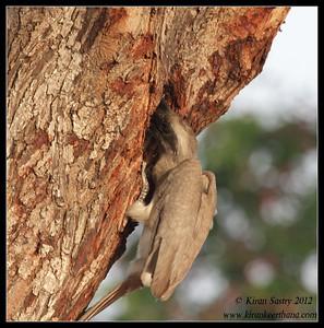 Grey Hornbill feeding the chick in the nest inside the tree, Chamundi Hills, Mysore, Karnataka, India, May 2012