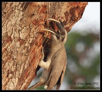 Grey Hornbill regurgitating a mollusc, Chamundi Hills, Mysore, Karnataka, India, May 2012