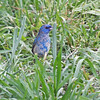 Indigo Bunting - (First Winter Male)