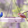Left: Indigo Bunting (Male) - R: Northern Cardinal (Female)