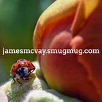Lady Bug closeup