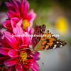 Painted Ladies Butterflies