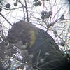 Glossy Black-Cockatoo (Calptorhynchus lathami)