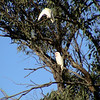 Long-billed Corella (Cacatua tenuirostris)