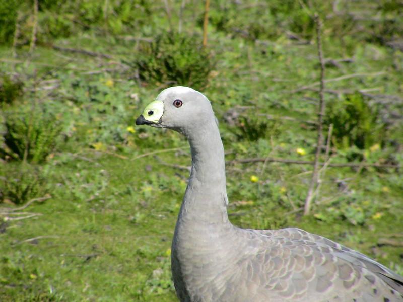 Cape Barren Goose (Cereopsis novaehollandiae) Maria Island, Tasmania