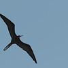 Magnificent Frigate (Fregata magnificens)