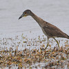 Yellow-crowned Night-Heron (Nycticorax violaceus)