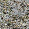 Black-bellied Plover (Pluvialis squatarola)