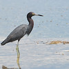Little Blue Heron (Egretta caerulea)