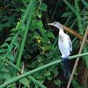 Reed Cormorant (Microcarbo africanus)