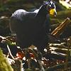 Bare-faced Curassow (Crax fasciolata) Cristalino Lodge, Alta Floresta, Mato Grosso