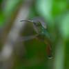 Rufous-breasted Hermit  (Glaucis hirsutus) Minca, Magdalena, Columbia