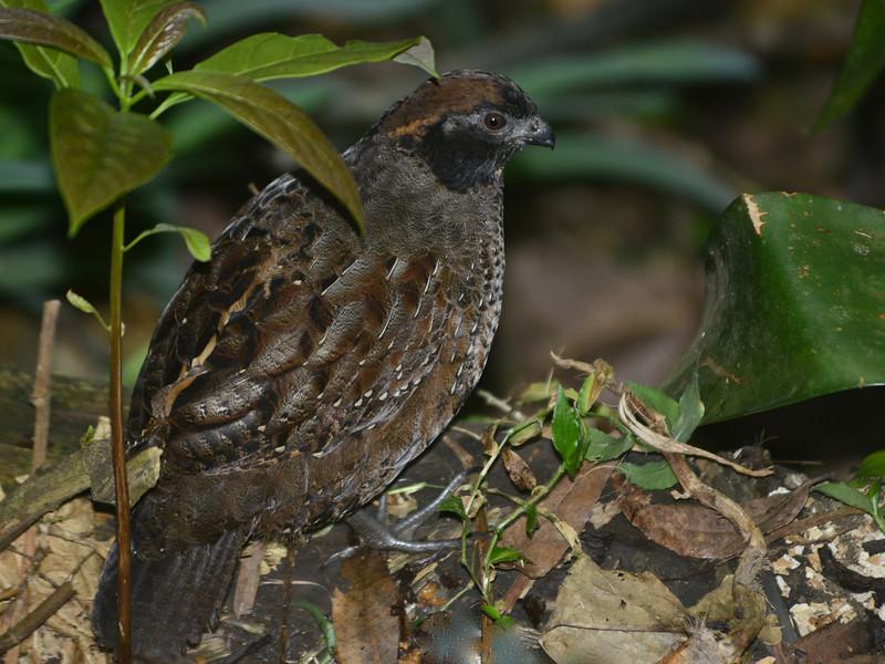 Black-fronted Wood-Quail (Odontophorus atrifrons) ProAves Eldorado Reserva, Magdalena, Columbia