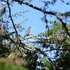 Band-tailed Pigeon (Patagioenas fasciata) ProAves Eldorado Reserva, Magdalena, Columbia