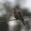 Eared Dove (Zenaida auriculata) Reserva Hidrográfica, Forestal y Parque Ecológico de Río Blanco, Manizales, Caldas, Columbia