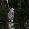 Broad-winged Hawk (Buteo platypterus) Reserva Hidrográfica, Forestal y Parque Ecológico de Río Blanco, Manizales, Caldas, Columbia