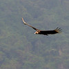 Black Vulture (Coragyps atratus) ProAves Eldorado Reserva, Magdalena, Columbia