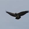 Black-chested Buzzard-Eagle (Geranoaetus melanoleucus) Los Nevados National Park, Tolima, Columbia