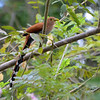 Squirrel Cuckoo (Piaya cayana) ProAves Eldorado Reserva, Magdalena, Columbia