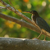 Green-backed Heron (Butaroides virescens)