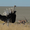 Ostrich (Struthio camelus) and Gemsbock